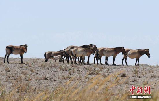 甘肃敦煌近距离拍摄普氏野马种群