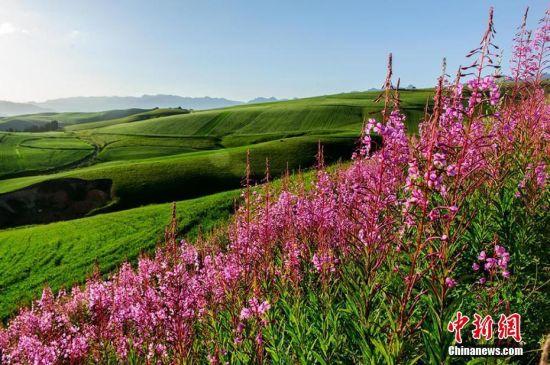 江布拉克景区近千亩油菜花和各色山花盛开